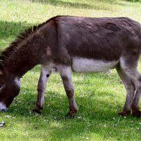 cadena dial burro