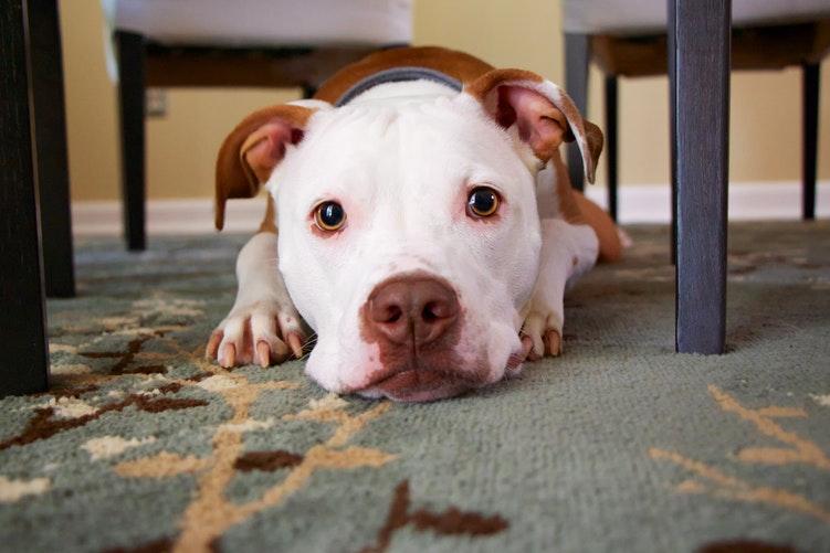 perro-tumbado