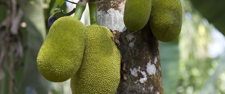 fruta jackfruit alimento comida carne