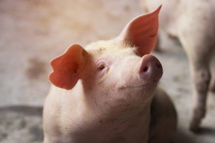 Un cerdo provoca un gran incendio tras tragarse un podómetro digital