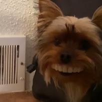 Un perro roba la dentadura de su dueño... ¡Y le queda perfecta!