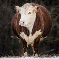La Vaca Que Ríe bromea con todo lo que está engordando en esta cuarentena