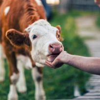 """Caricias a una vaca por 75 euros: la nueva tendencia para """"conectar con uno mismo"""""""