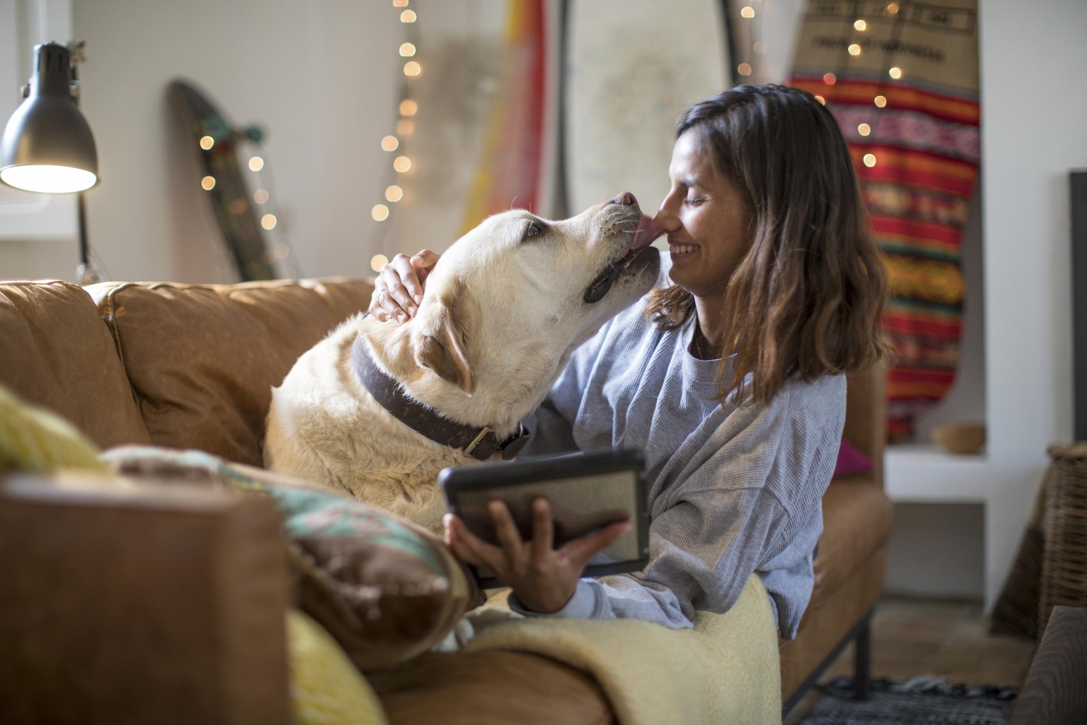 perros labrador lametón mujer