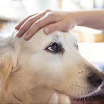perro labrador tiktok chivato