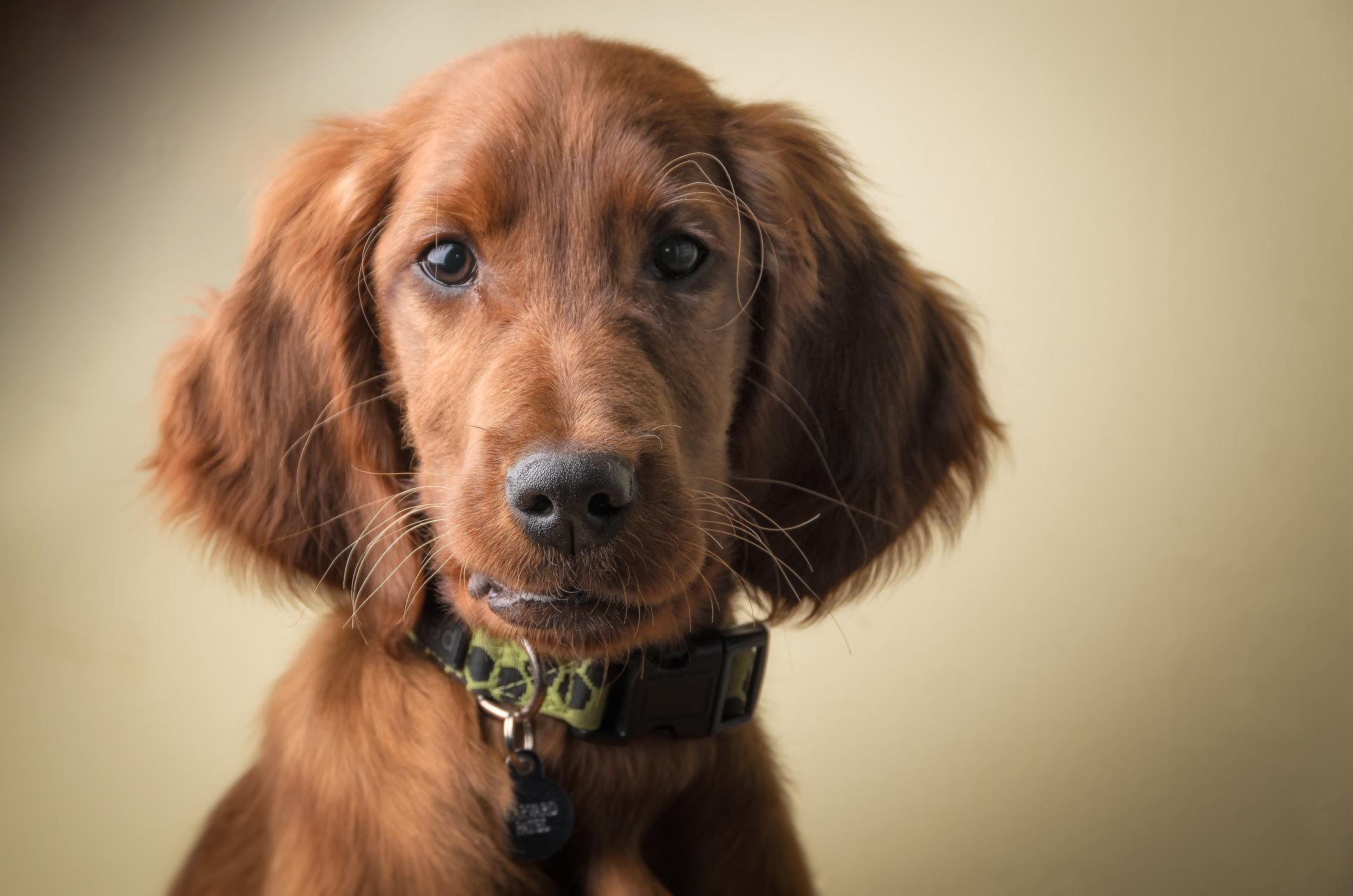 perros setter irlandés niños familia