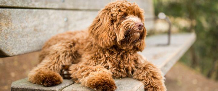 perro raza labradoodle moda