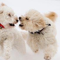 perros enfrentados
