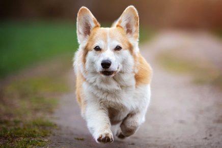 Pelo perro brillante
