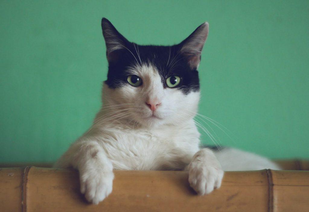 cancer en gatos